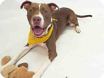 Pit Bull Terrier/Labrador Retriever Mix Dog for adoption in Sanford, Florida - CHENNEY