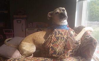 Labrador Retriever/Whippet Mix Dog for adoption in Indianapolis, Indiana - Kai