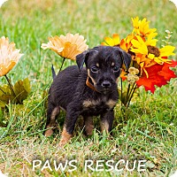Adopt A Pet :: Moon Doggy - Forest Hill, MD