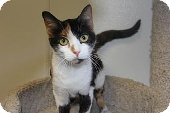Domestic Shorthair Cat for adoption in Greensboro, North Carolina - Bella