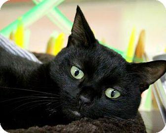 Bombay Cat for adoption in Gulfport, Mississippi - Jocelyn (Lap Lover)