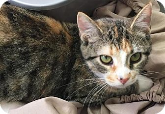 Domestic Shorthair Cat for adoption in Manteo, North Carolina - Winnie