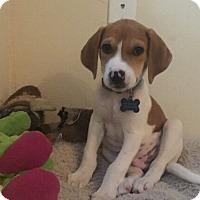 Adopt A Pet :: Phineas - Austin, TX