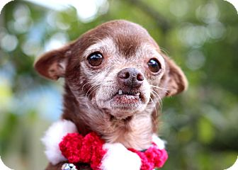 Chihuahua Mix Dog for adoption in College Station, Texas - Basil (5.3 pounds