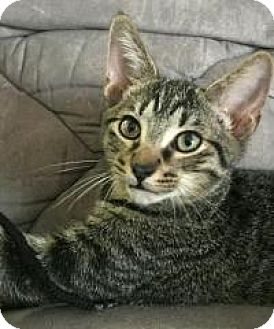 Domestic Shorthair Cat for adoption in Rochester, Michigan - Adam