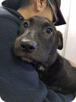 Labrador Retriever/Border Collie Mix Puppy for adoption in Red Bluff, California - Olivia