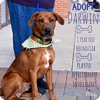 Adopt A Pet :: *Adoption pending* Darwin - Manassas, VA
