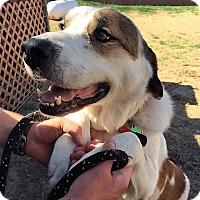 Adopt A Pet :: Jackson 3 - McKinney, TX