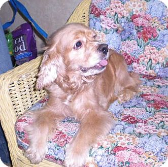 "Cocker Spaniel Dog for adoption in New Castle, Pennsylvania - "" Honey """