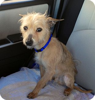 Norfolk Terrier Mix Dog for adoption in Chicago, Illinois - Henry