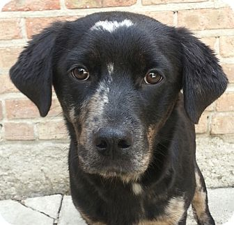 Australian Shepherd/Labrador Retriever Mix Puppy for adoption in Chicago, Illinois - Arty*ADOPTED!*