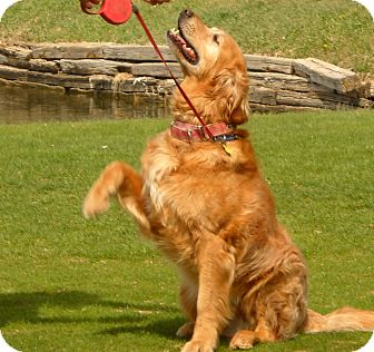 Golden Retriever Dog for adoption in Denver, Colorado - Murray