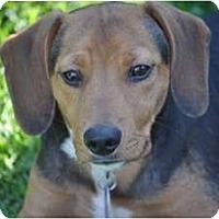 Adopt A Pet :: Copper - Rigaud, QC