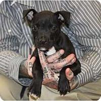 Adopt A Pet :: Breaker - Rowlett, TX