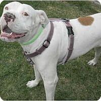 Adopt A Pet :: Chica - Mesa, AZ