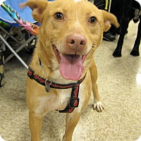 Adopt A Pet :: Old Yeller - Delaware, OH