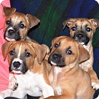 Adopt A Pet :: Pasta Puppies - Turnersville, NJ