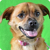 Adopt A Pet :: Gidget - Minneapolis, MN
