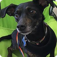 Adopt A Pet :: Dharma - North Richland Hills, TX