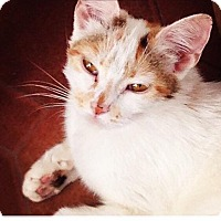 Calico Cat for adoption in Clarkson, Kentucky - Finch