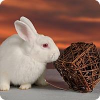 Adopt A Pet :: Creampuff - Marietta, GA