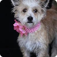 Adopt A Pet :: Cinnamon - SAN PEDRO, CA