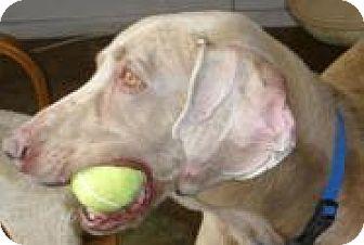 Weimaraner Dog for adoption in Sun Valley, California - Mambo