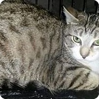 Domestic Shorthair Cat for adoption in Brampton, Ontario - Sparky