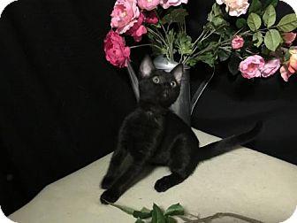 Domestic Shorthair Kitten for adoption in Fayetteville, Georgia - Disney