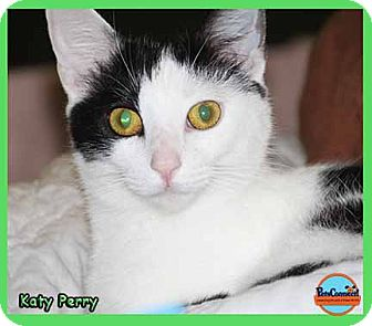 Domestic Shorthair Cat for adoption in South Bend, Indiana - Katy Perry