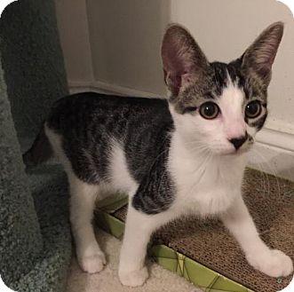 Domestic Shorthair Kitten for adoption in Herndon, Virginia - Elvis