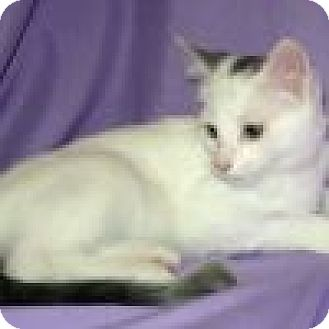 Domestic Shorthair Cat for adoption in Powell, Ohio - Karlton