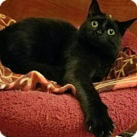 Domestic Shorthair Cat for adoption in Arcadia, California - Smokes