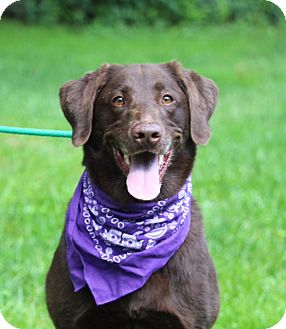 Labrador Retriever Mix Dog for adoption in Brattleboro, Vermont - Toda