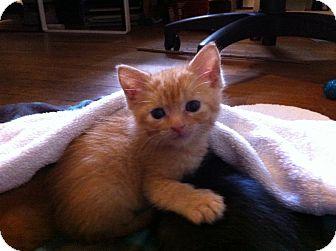 Domestic Shorthair Kitten for adoption in Houston, Texas - Eeeny