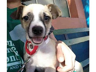 Chihuahua Puppy for adoption in San Francisco, California - KABOODLE
