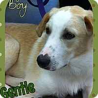 Labrador Retriever/Great Pyrenees Mix Dog for adoption in Enid, Oklahoma - Maurice
