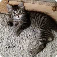 Domestic Shorthair Kitten for adoption in Portland, Oregon - Gulliver