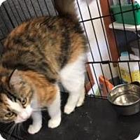 Domestic Longhair Kitten for adoption in Branson, Missouri - Nene