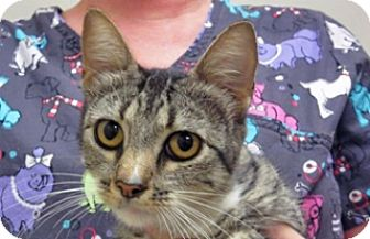 Domestic Shorthair Cat for adoption in Wildomar, California - Nancy