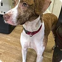 Adopt A Pet :: Troya - San Francisco, CA