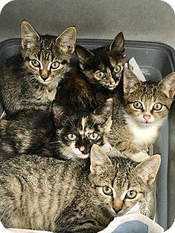 Domestic Shorthair Cat for adoption in Manteo, North Carolina - Nettie