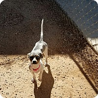 Adopt A Pet :: CHOMPERS - Lubbock, TX