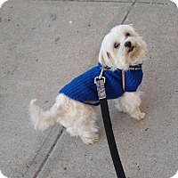 Adopt A Pet :: Cookie - Bronx, NY