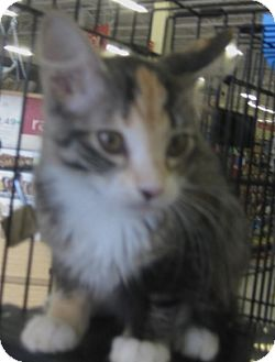 Maine Coon Kitten for adoption in Dallas, Texas - Katrina