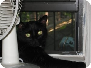 Domestic Shorthair Cat for adoption in Rockaway, New Jersey - ***Isis***