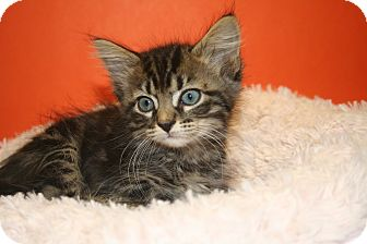 Domestic Shorthair Kitten for adoption in SILVER SPRING, Maryland - MORGAN