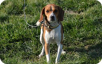 Beagle Mix Dog for adoption in New Cumberland, West Virginia - Dazzle
