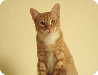 Domestic Shorthair Kitten for adoption in Scottsdale, Arizona - Randy-handsome & social