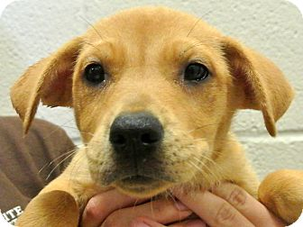 Labrador Retriever/Shepherd (Unknown Type) Mix Puppy for adoption in white settlment, Texas - Ariel